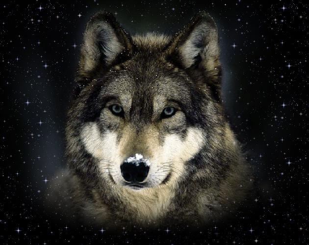 Старый волк